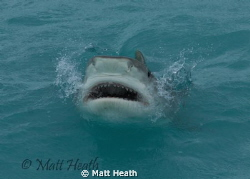 Tiger Shark Trying to Get a Fish at the Surface by Matt Heath